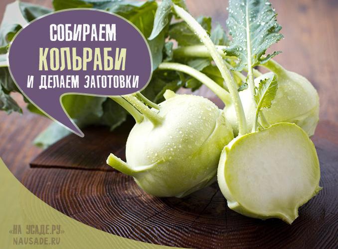 Когда собирать урожай капусты кольраби