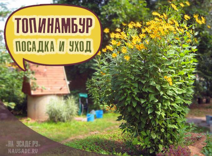 Топинамбур -выращивание и уход на даче как сажать весной растение фото видео