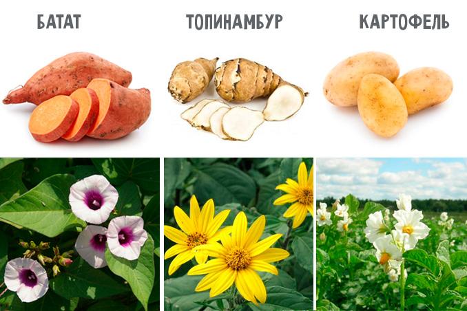 сравнение с картофелем и топинамбуром
