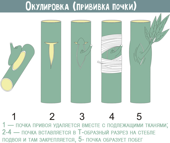 Правила размножения хурмы черенками - Дача мечты